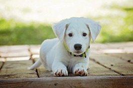 Rozpoczynają się obowiązkowe szczepienia psów